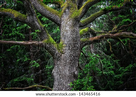 Detail of an majestic old oak tree in a deep gloomy forest in sweden - stock photo