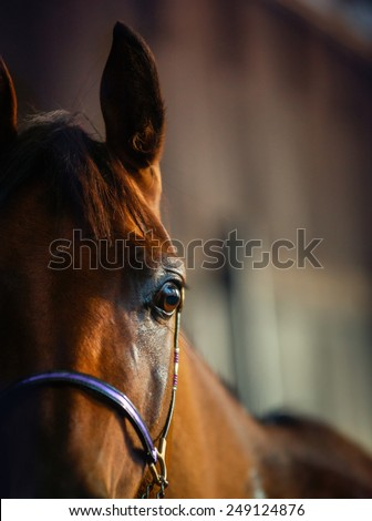 Detail of arabian horse in the stable - stock photo