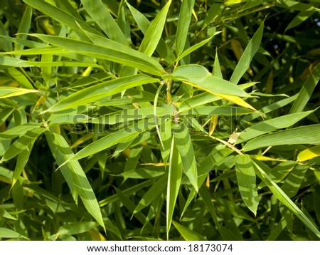 Detail of bamboo foliage.