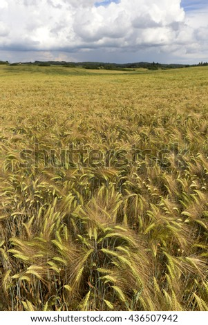 Detail of Barley Spikes in the summer country Landscape - stock photo
