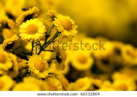 Detail of beautiful chrysanthemum for background or others purpose use - stock photo