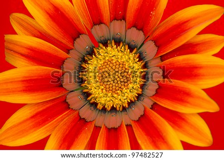 Detail of beautiful chrysanthemum for texture or others purpose use
