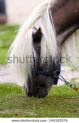 detail of beautiful pony grazing - having a big white mane - stock photo