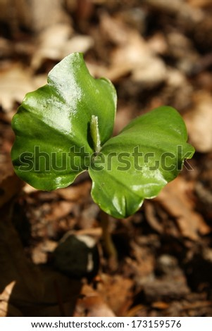 detail of beech tree sapling - stock photo