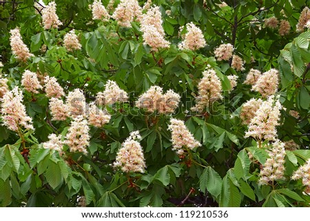 Detail of blooming chestnut tree in springtime. Latin name: Aesculus hippocastanum - stock photo