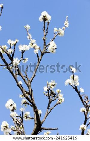 detail of blossom tree - stock photo