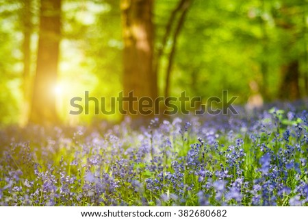 Detail of bluebell flower forest - photo with low depth of field - stock photo