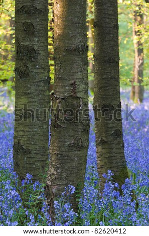 Detail of bluebell woods in spring at their peak of their bloom. - stock photo