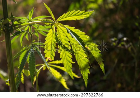 Detail of Cannabis Leaf in the Sunlight Fresh cannabis leaf growing in the nature, enlightened by the morning sunlight. - stock photo