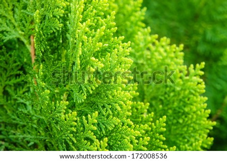Detail of chinese arborvitae  - stock photo