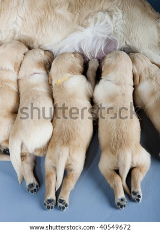detail of female dog of golden retriever with puppies - stock photo