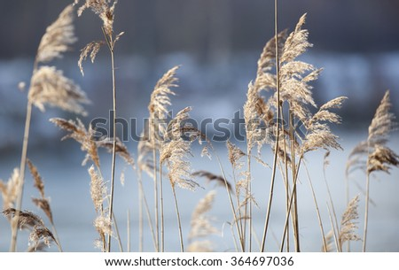 Detail of flowering reed and grass plants - stock photo