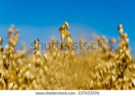 Detail of golden oat field in sunlight during summerr - stock photo