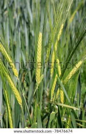 Detail of green Barley Spike - stock photo