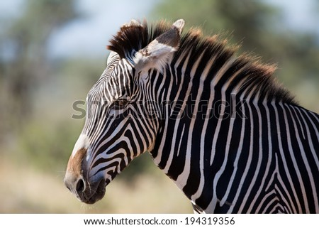 Detail of head of Grevys Zebra (Equus grevyi), also known as the imperial zebra in Samburu National Reserve, Kenya. The largest and most endangered Zebra. - stock photo