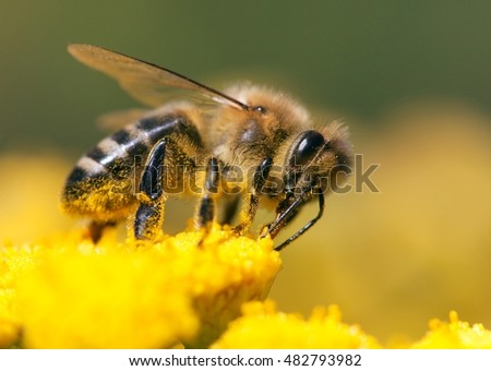 detail of honeybee (Apis mellifera) sitting on the yellow flower