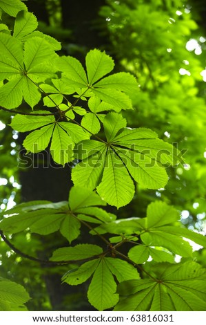 Detail of Horse Chestnut tree leaves - stock photo
