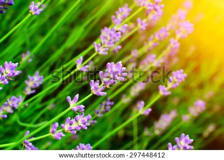 Detail of lavender flowers in summer garden. - stock photo