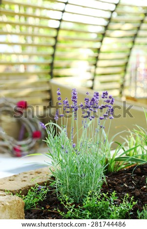 Detail of lavender plant in patio - stock photo