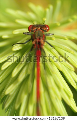 detail of little red dragonfly - stock photo