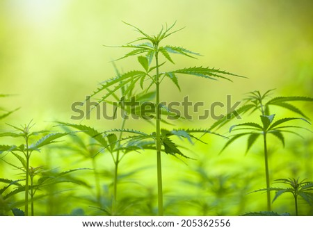 Detail of marijuana plant on field, low depth of focus - stock photo