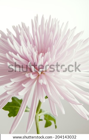 Detail of pink chrysanthemum flower isolated on white  - stock photo