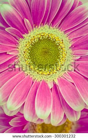 detail of pink gerber flower - stock photo