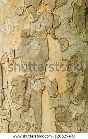 Detail of Plane tree, Platanus, bark