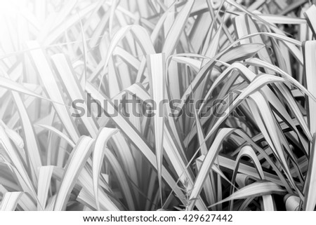 detail of plant leaf, black and white style