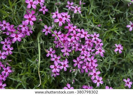 detail of purple pink spring flowers of red wood sorrel oxalis rubra - stock photo