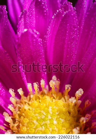 Detail of purple yellow bloom with morning's dew.  - stock photo
