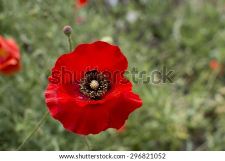 Detail of red poppy flower with shallow DOF - stock photo