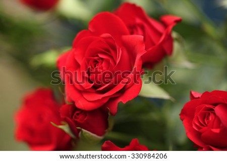 Detail of red roses in the garden. - stock photo