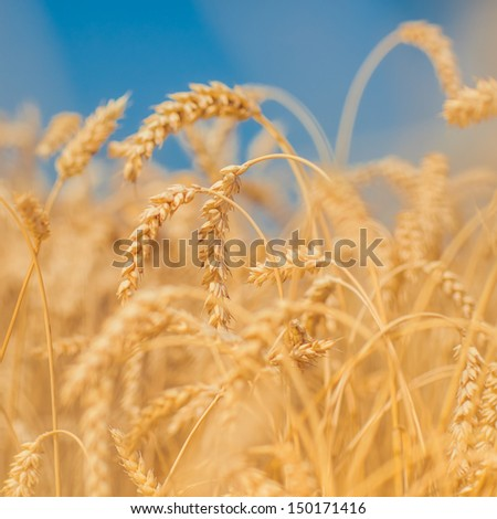 Detail of Ripening Ears of Wheat Field - stock photo