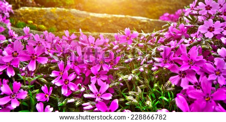 Detail of rock garden flower. Closeup macro detail of purple and pink bloom or blooming flowers. - stock photo