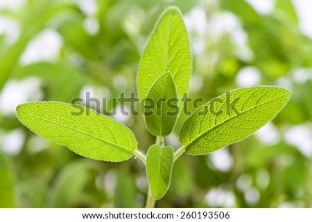 detail of sage spice plant - stock photo