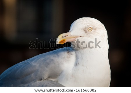 Detail of seagull's head