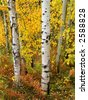 Detail of several aspen birch trees with golden yellow leaves - stock photo