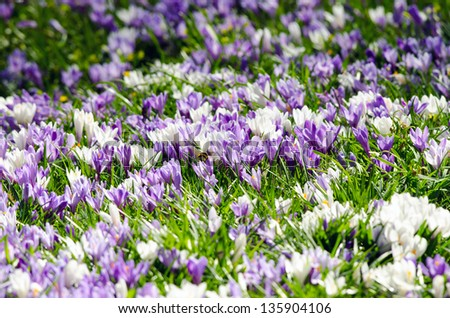 Detail of small crocus flowers. - stock photo