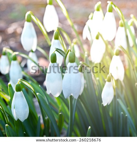 detail of snowdrops in the garden in the springtime - stock photo