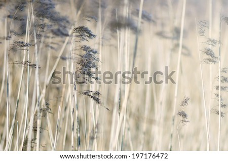 Detail of some flowering reed and grass plants with ripe seeds bending in the wind. - stock photo