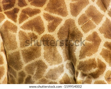 detail of the animal--skin,giraffe - stock photo