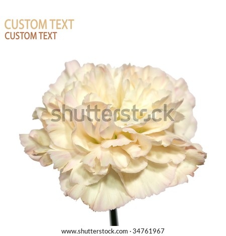 Detail of the Carnation flower (Dianthus caryophyllus) also known as Clove Pink. Isolated on pure white. - stock photo