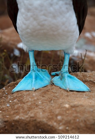 Detail of the Galapagos blue-footed booby feet - stock photo