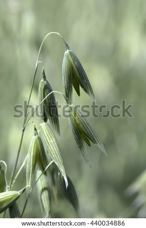 Detail of the green Oat Spike  - stock photo