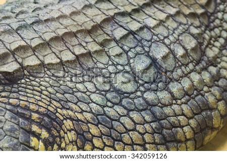 detail of the hard skin of a giant Nile crocodile (Crocodylus niloticus) - stock photo