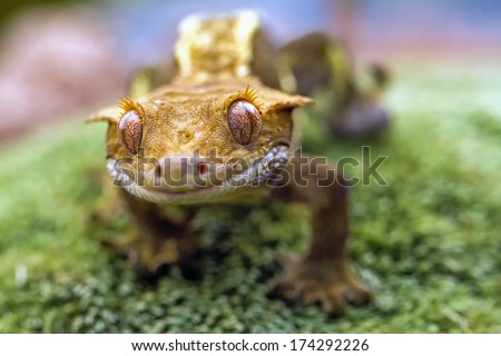 Detail of the head and eyes New Caledonian crested gecko - stock photo