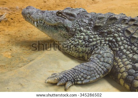 detail of the head of a giant Nile crocodile (Crocodylus niloticus) - stock photo