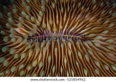 Detail of the mouth of a mushroom coral (Fungia sp.) on a coral reef in Komodo National Park, Indonesia.