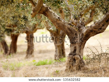 detail of  the old olive tree - stock photo